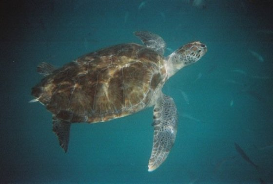 One of the giant sea turtles that we swam with.